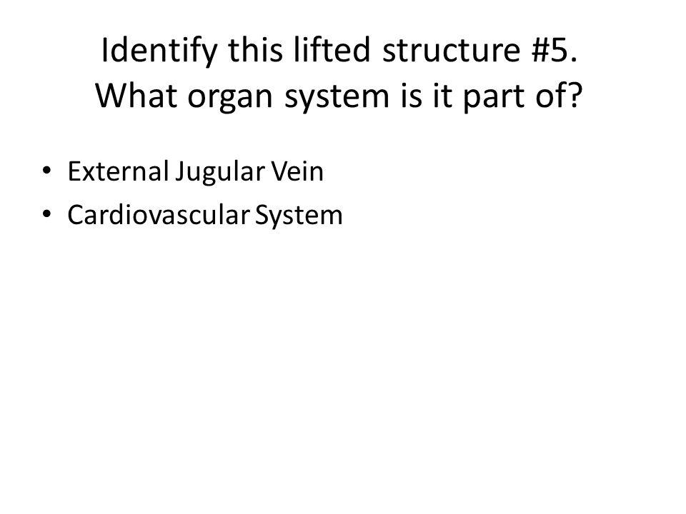 External Jugular Vein Cardiovascular System