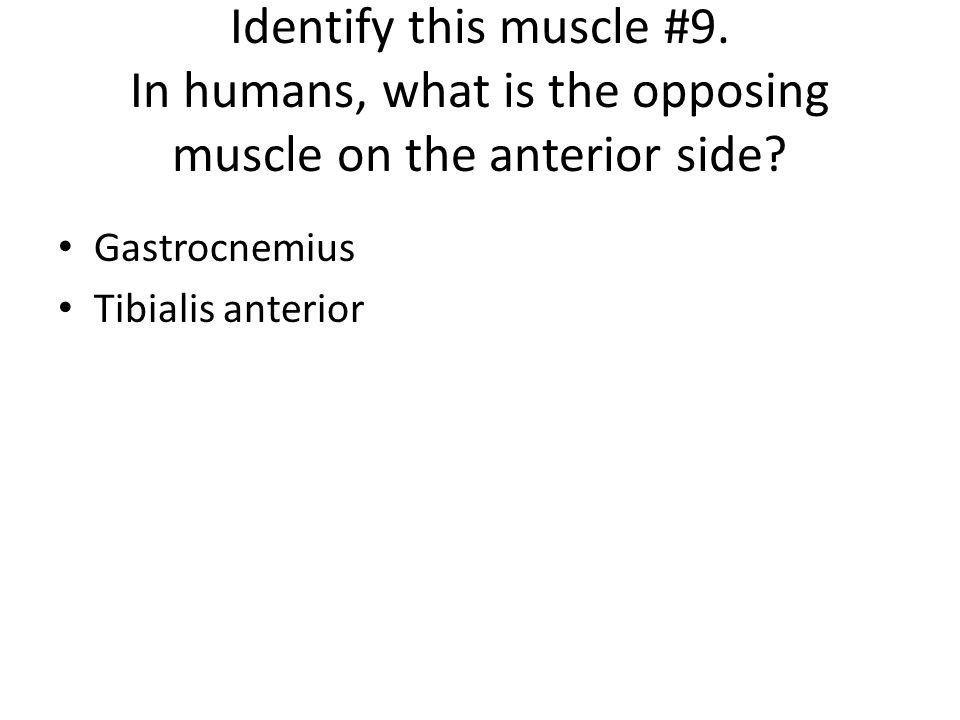 Gastrocnemius Tibialis anterior
