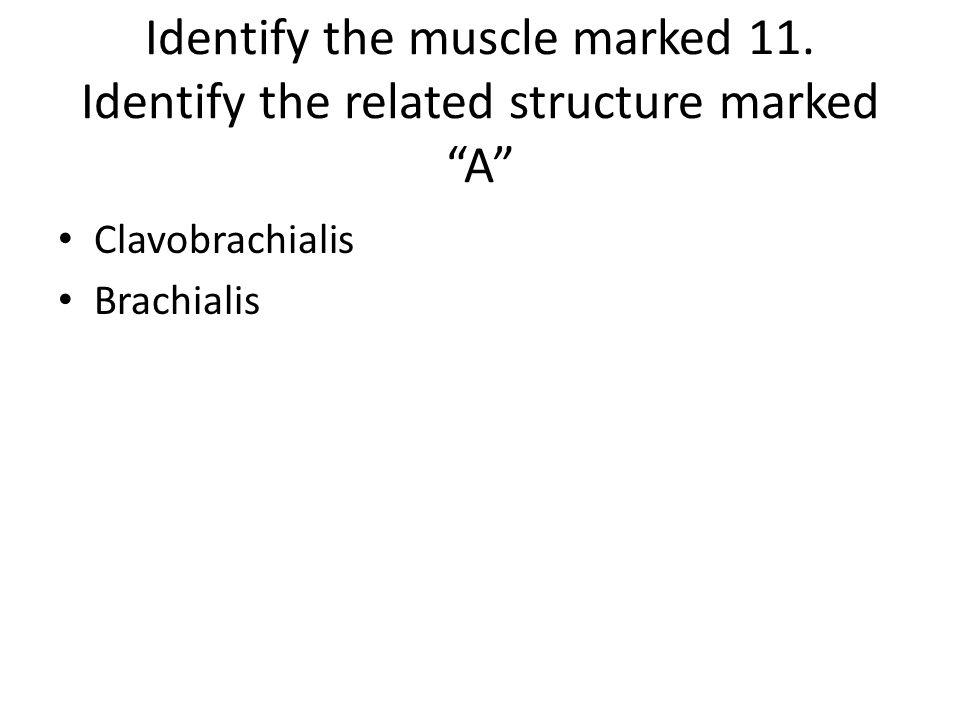 Clavobrachialis Brachialis