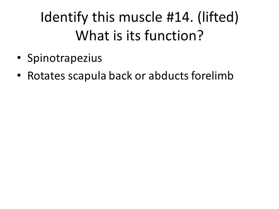 Identify this muscle #14. (lifted) What is its function? Spinotrapezius Rotates scapula back or abducts forelimb