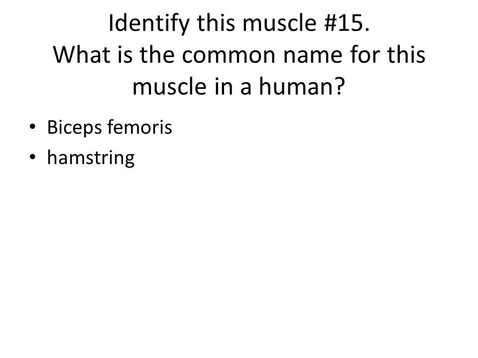 Biceps femoris hamstring