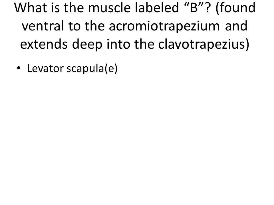 Levator scapula(e)