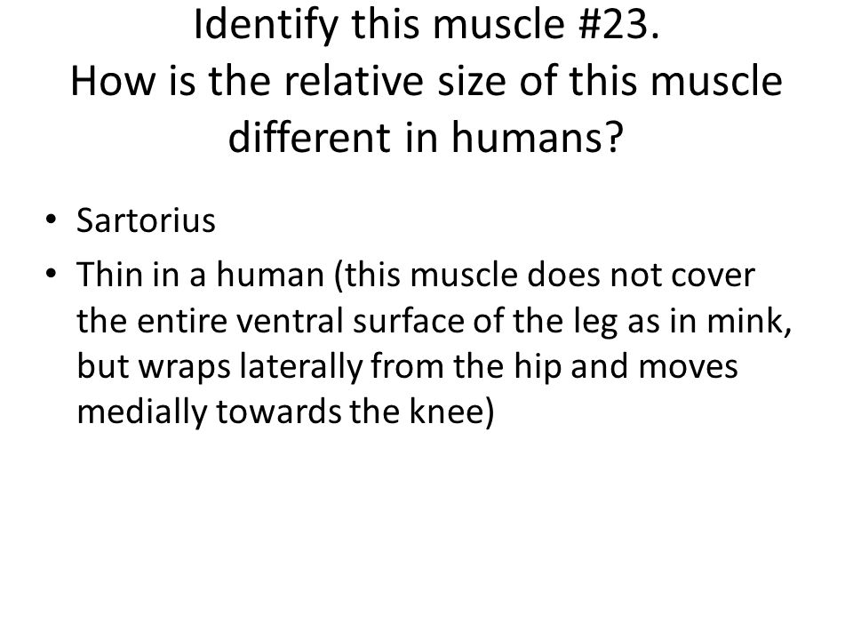 Sartorius Thin in a human (this muscle does not cover the entire ventral surface of the leg as in mink, but wraps laterally from the hip and moves med