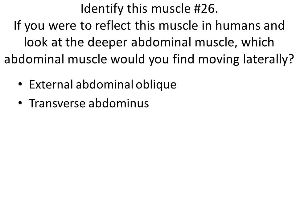 External abdominal oblique Transverse abdominus
