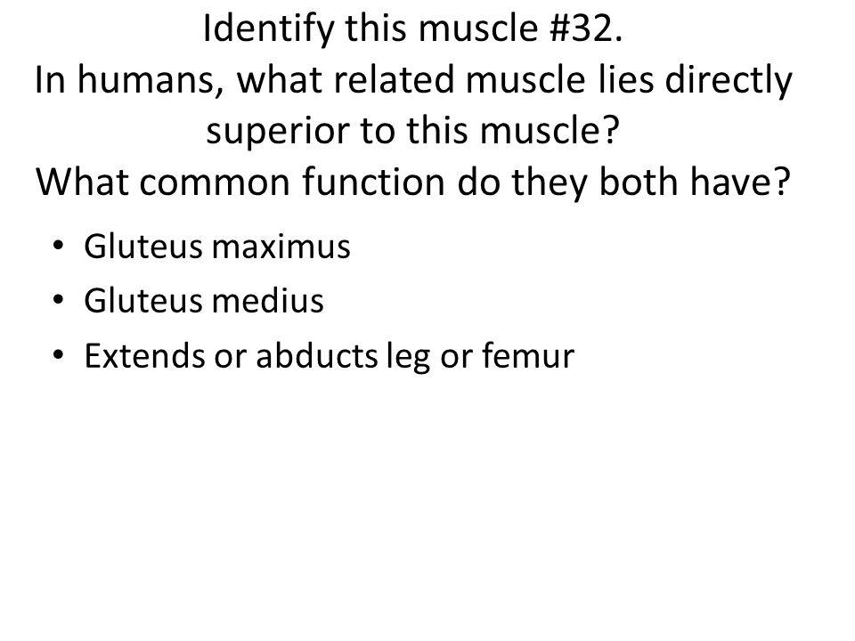 Gluteus maximus Gluteus medius Extends or abducts leg or femur
