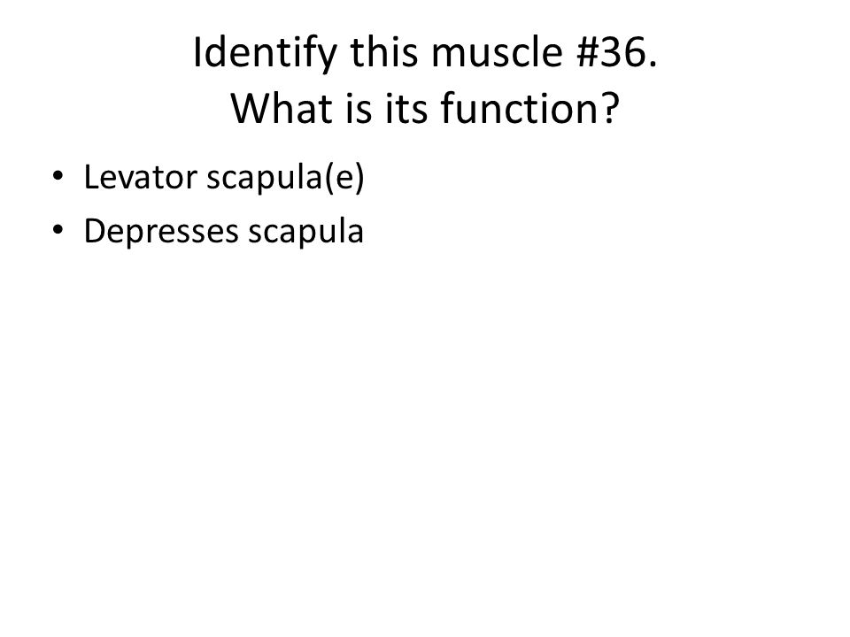Identify this muscle #36. What is its function? Levator scapula(e) Depresses scapula