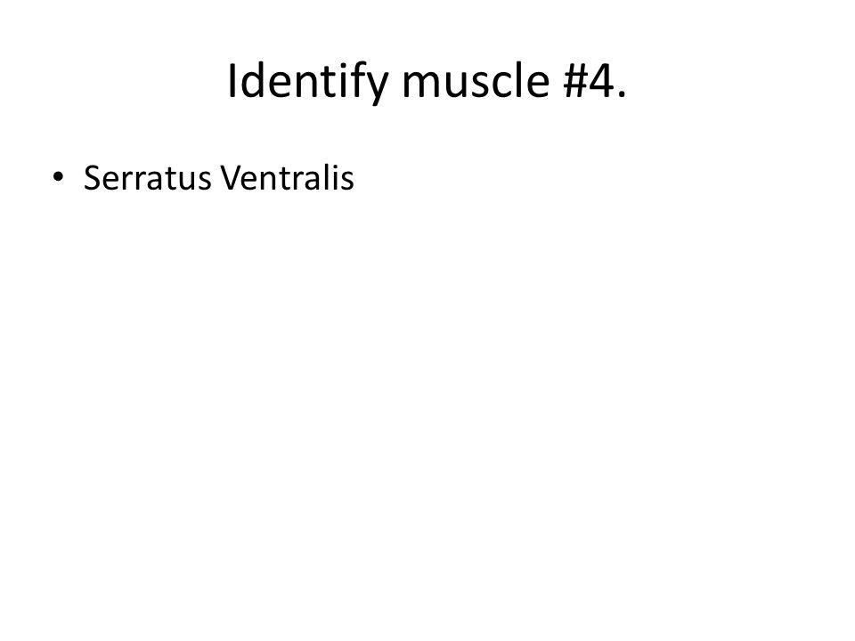 Serratus Ventralis