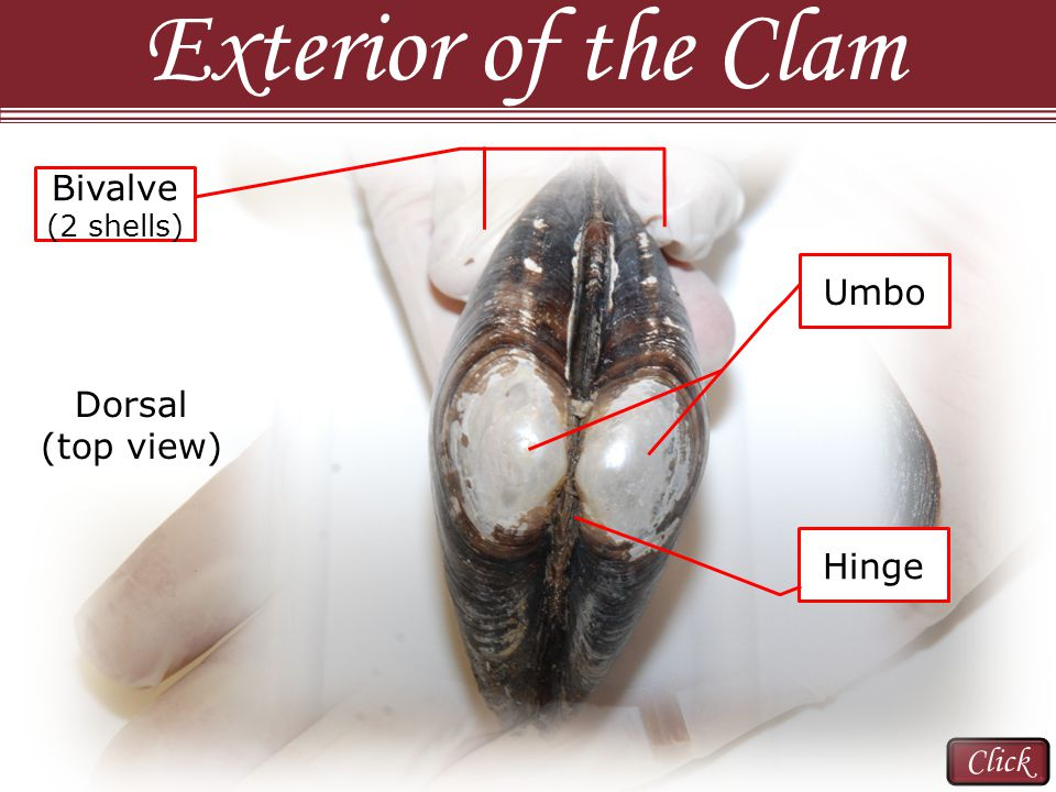 Dissection 101: Clam Cut both adductor muscles on either side of the hinge; do not cut through the middle of the clam (dorsal side: posterior and anterior) Always cut away from your hands and fingers Slowly open the clam; continue to cut the adductor muscles if there is resistance.