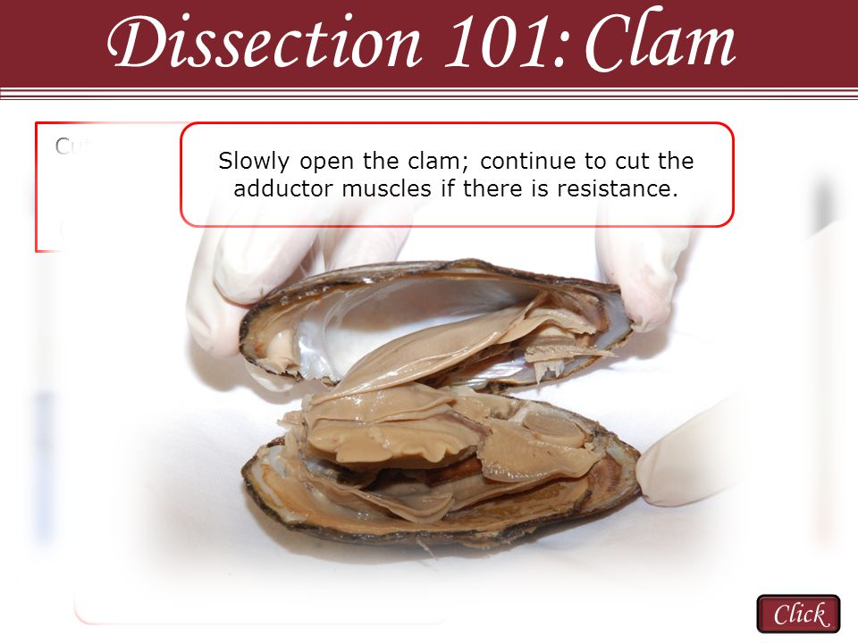 Dissection 101: Clam Click Many times one of the mantles will rip when the clam is pulled apart.