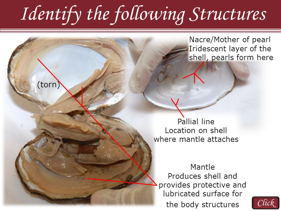 Identify the following Structures Mantle Produces shell and provides protective and lubricated surface for the body structures (torn) Click Pallial line Location on shell where mantle attaches Nacre/Mother of pearl Iridescent layer of the shell, pearls form here