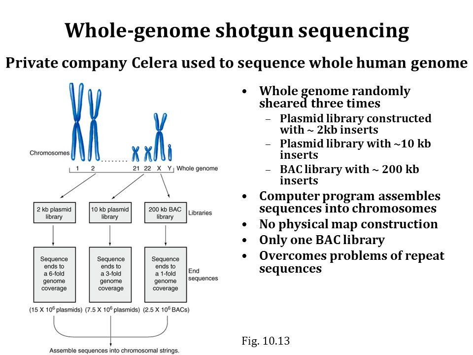 Whole-genome shotgun sequencing Private company Celera used to sequence whole human genome Whole genome randomly sheared three times –Plasmid library