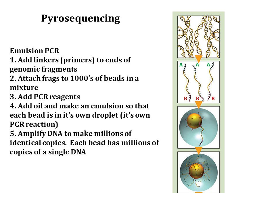 Emulsion PCR 1. Add linkers (primers) to ends of genomic fragments 2. Attach frags to 1000's of beads in a mixture 3. Add PCR reagents 4. Add oil and