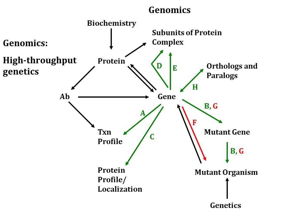 Ab Protein Txn Profile Gene Orthologs and Paralogs Mutant Gene Biochemistry Genetics Mutant Organism A C F Subunits of Protein Complex B, G D E Protein Profile/ Localization Genomics: High-throughput genetics Genomics B, G H