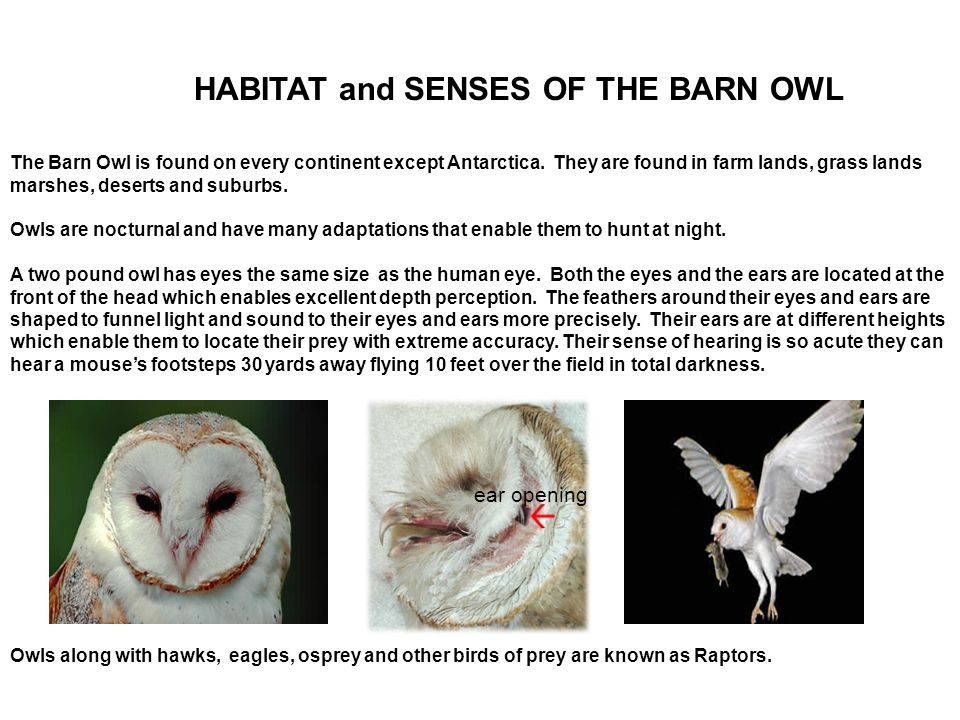 HABITAT and SENSES OF THE BARN OWL The Barn Owl is found on every continent except Antarctica.