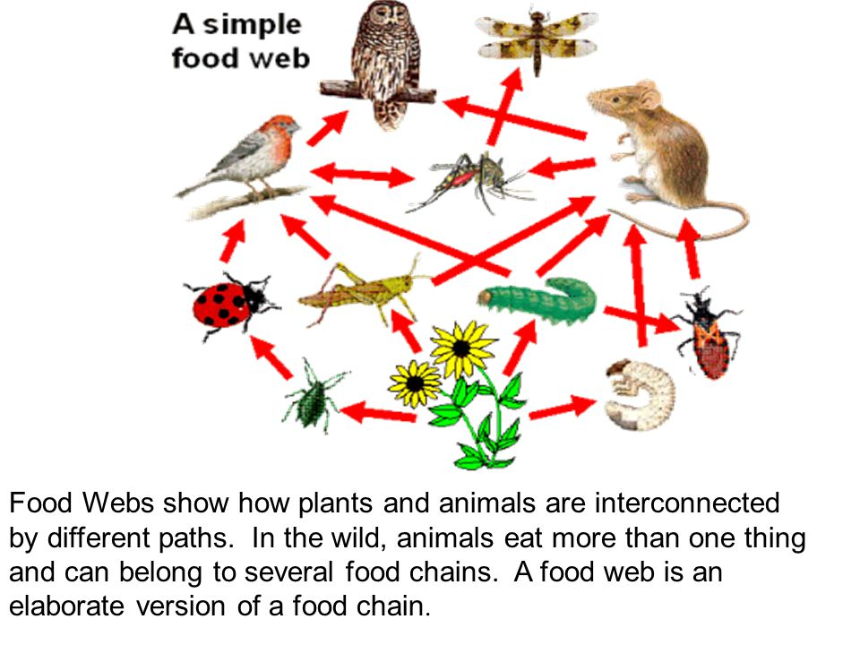Food Webs show how plants and animals are interconnected by different paths.