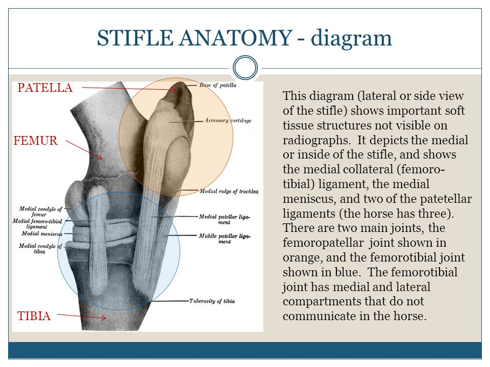 STIFLE ANATOMY - diagram This diagram (lateral or side view of the stifle) shows important soft tissue structures not visible on radiographs. It depic