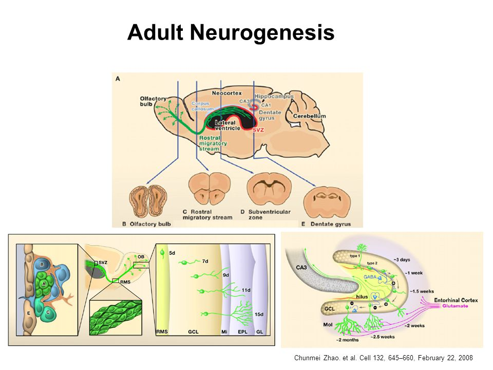 Adult Neurogenesis Chunmei Zhao. et al. Cell 132, 645–660, February 22, 2008
