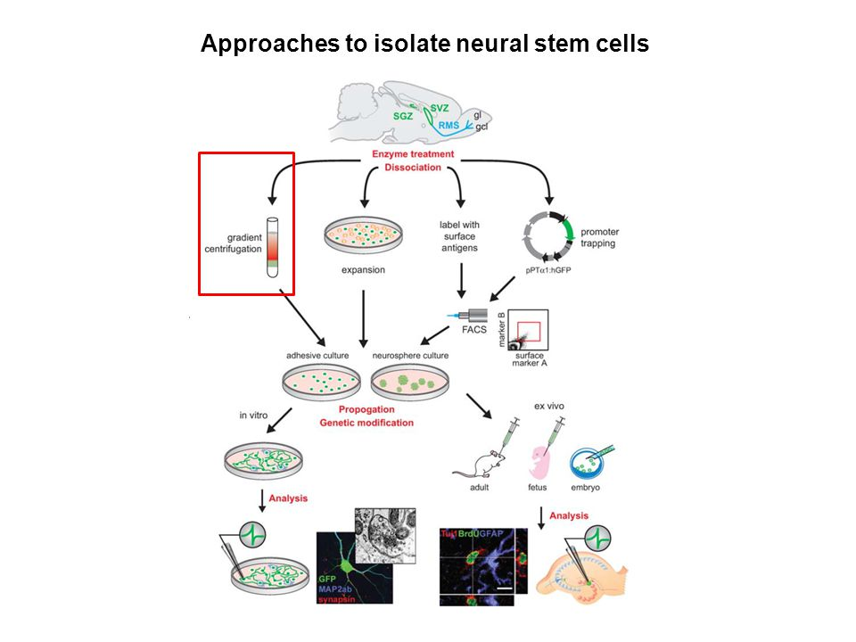 Approaches to isolate neural stem cells