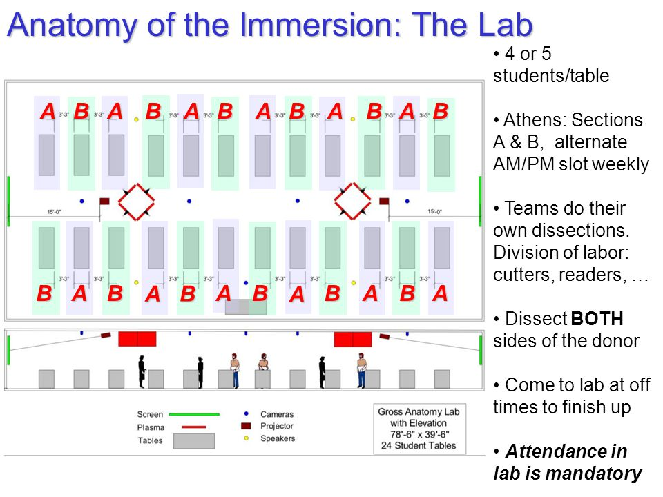 Anatomy of the Immersion: The Lab 4 or 5 students/table Athens: Sections A & B, alternate AM/PM slot weekly Teams do their own dissections.