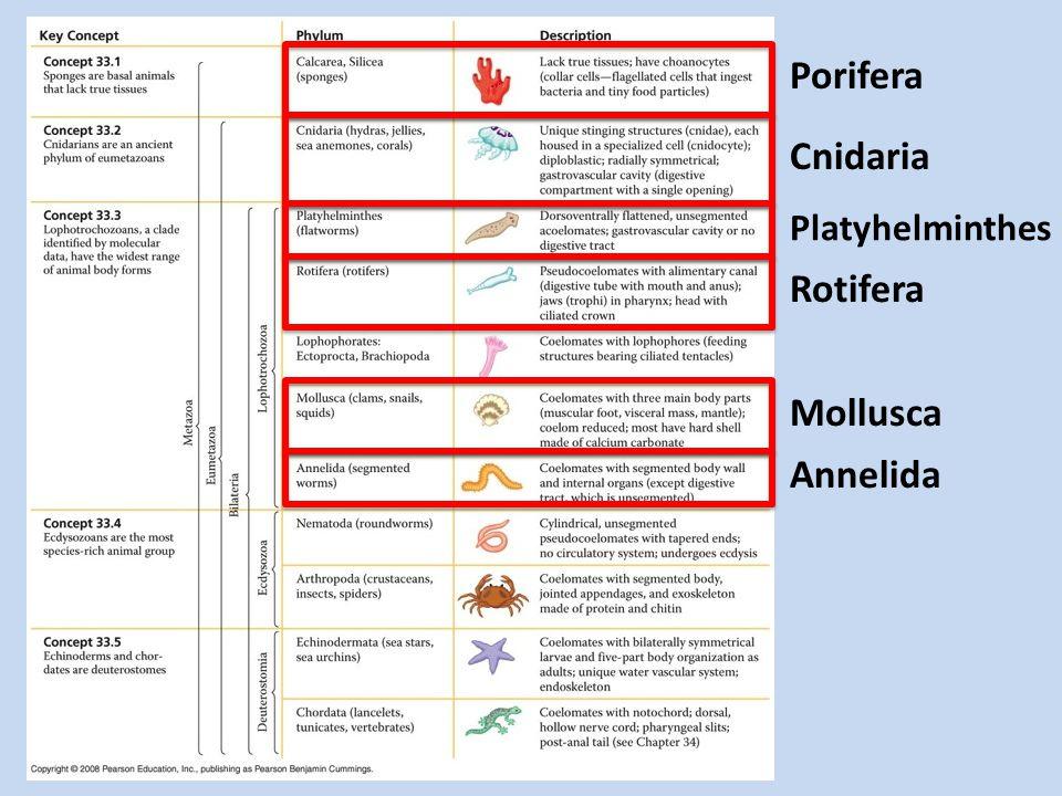 Porifera Cnidaria Platyhelminthes Rotifera Mollusca Annelida