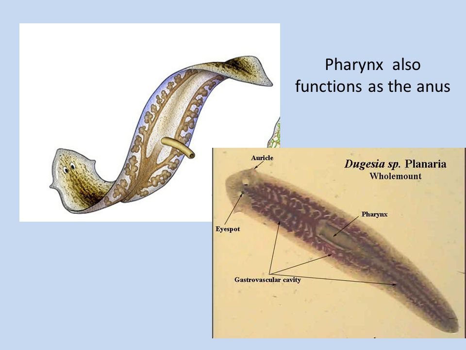 Pharynx also functions as the anus