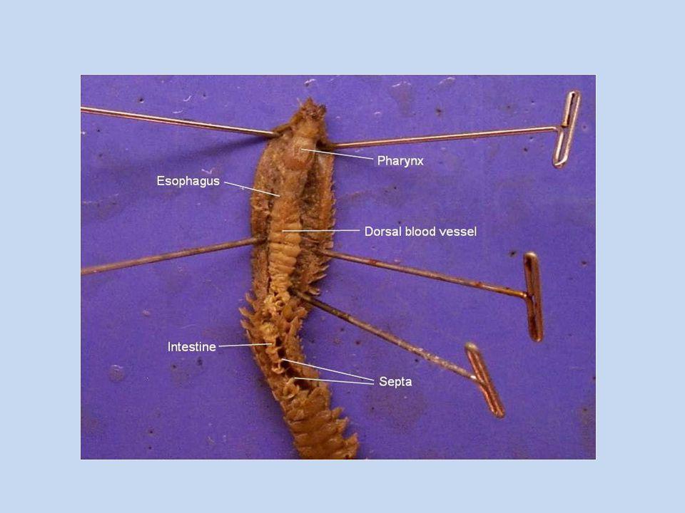 Earthworms (Lumbricus terrestris) Exercise 4: Lab Study B Dissect in pairs.