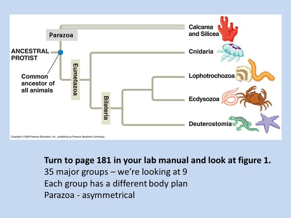 Parazoa Turn to page 181 in your lab manual and look at figure 1.