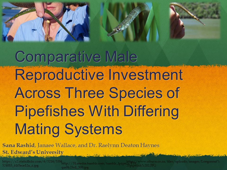 Comparative Male Reproductive Investment Across Three Species of Pipefishes With Differing Mating Systems Sana Rashid, Janaee Wallace, and Dr.
