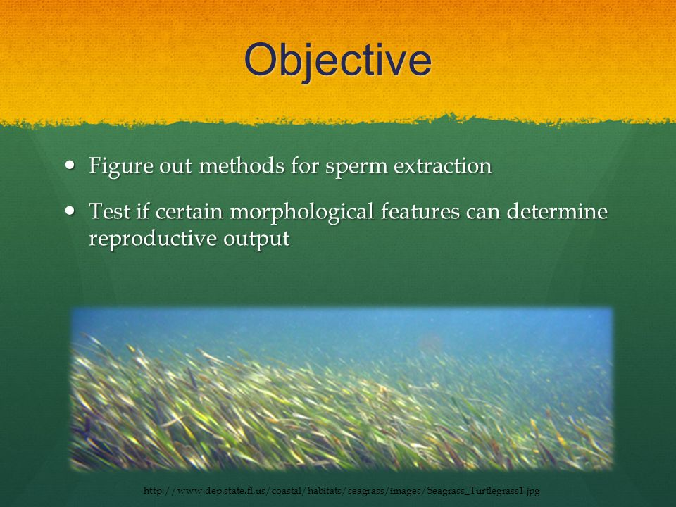 Objective Figure out methods for sperm extraction Figure out methods for sperm extraction Test if certain morphological features can determine reproductive output Test if certain morphological features can determine reproductive output http://www.dep.state.fl.us/coastal/habitats/seagrass/images/Seagrass_Turtlegrass1.jpg