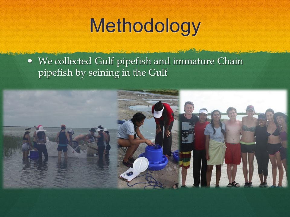 Methodology We collected Gulf pipefish and immature Chain pipefish by seining in the Gulf We collected Gulf pipefish and immature Chain pipefish by seining in the Gulf