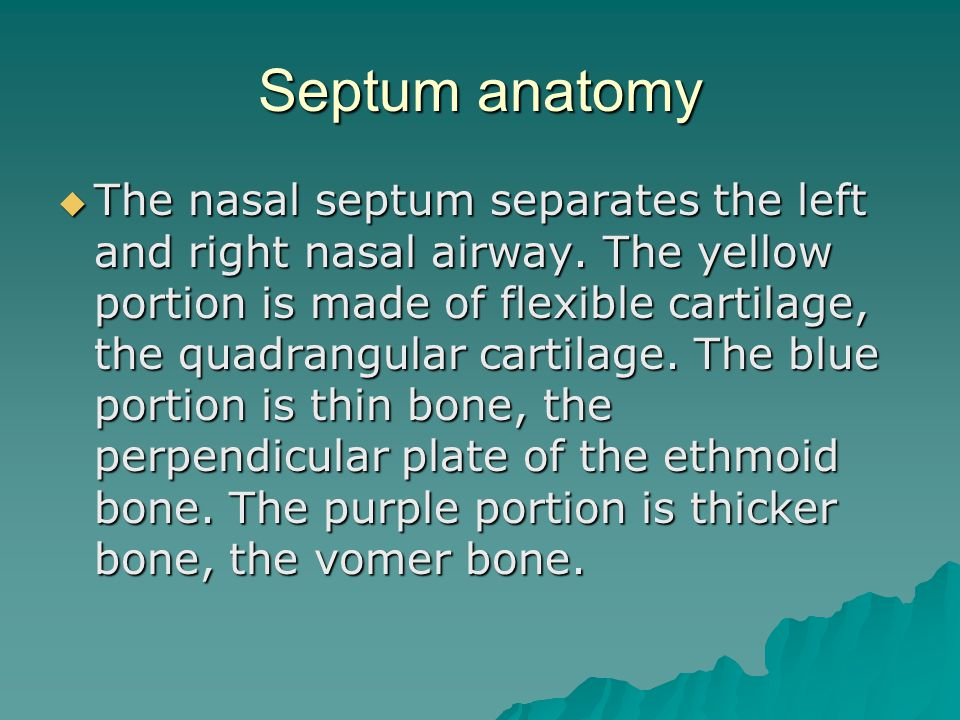 Septum anatomy  The nasal septum separates the left and right nasal airway. The yellow portion is made of flexible cartilage, the quadrangular cartil