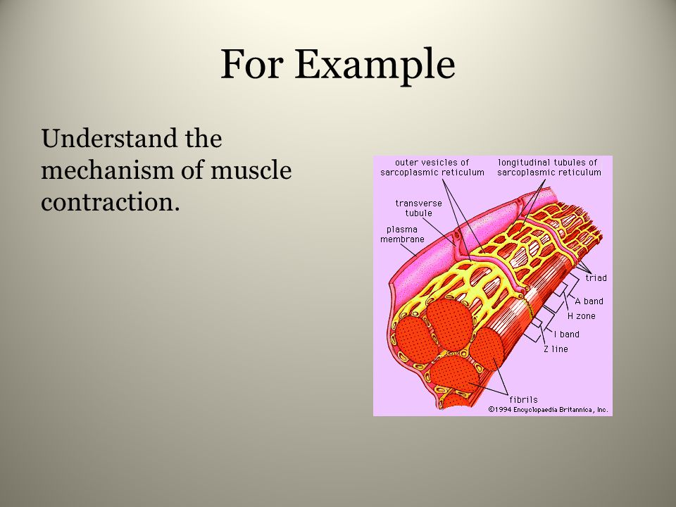 For Example Understand the mechanism of muscle contraction.
