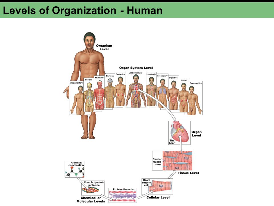 Organ Systems in Review NIRMCRUDLES Integumentary Musculoskeletal Respiratory Digestive Urinary Reproductive Circulatory / Cardiovascular Nervous Endocrine Lymphatic / Immune Protection from environmental hazards; temperature control Support, protection of soft tissues; mineral storage; blood formation Locomotion, support, heat production Directing immediate responses to stimuli, usually by coordinating the activities of other organ systems Directing long-term changes in the activities of other organ systems Internal transport of cells and dissolved materials, including nutrients, wastes, and gases Defense against infection and disease Delivery of air to sites where gas exchange can occur between the air and circulating blood Processing of food and absorption of organic nutrients, minerals, vitamins, and water Elimination of excess water, salts, and waste products; control of pH Production of sex cells and hormones Organ System Major Functions Integumentary system Skeletal system Muscular system Nervous system Endocrine system Cardiovascular system Lymphatic system Respiratory system Digestive system Urinary system Reproductive system Know Names, functions and major components
