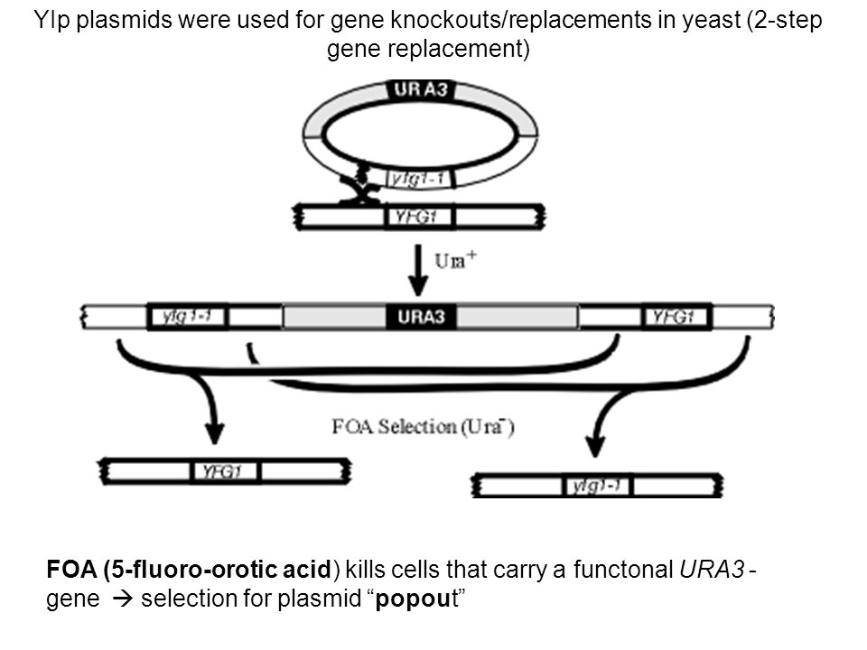 YIp plasmids were used for gene knockouts/replacements in yeast (2-step gene replacement) FOA (5-fluoro-orotic acid) kills cells that carry a functona