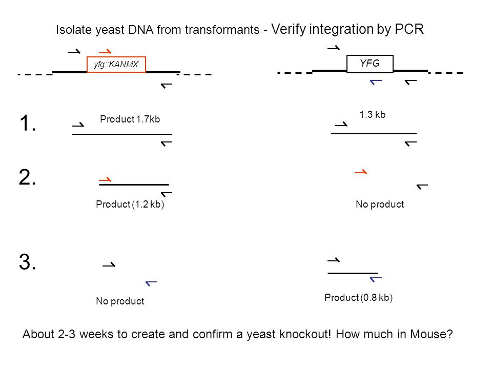 Isolate yeast DNA from transformants - Verify integration by PCR yfg::KANMX YFG Product 1.7kb 1.3 kb 1. 2. 3. Product (1.2 kb)No product Product (0.8