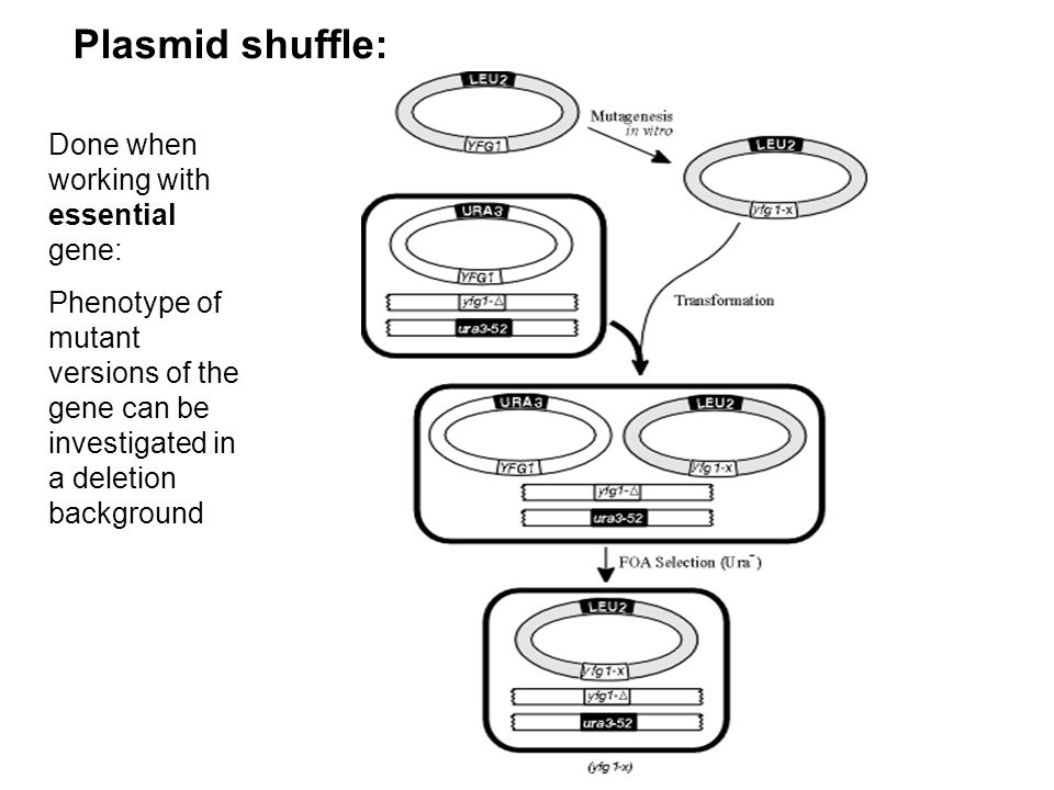 Plasmid shuffle: Done when working with essential gene: Phenotype of mutant versions of the gene can be investigated in a deletion background