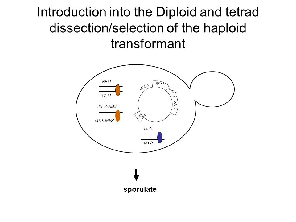 Introduction into the Diploid and tetrad dissection/selection of the haploid transformant RFT1 rft1::KANMX CEN RFT1 URA3 p GAL1 t CYC1 ura3- sporulate