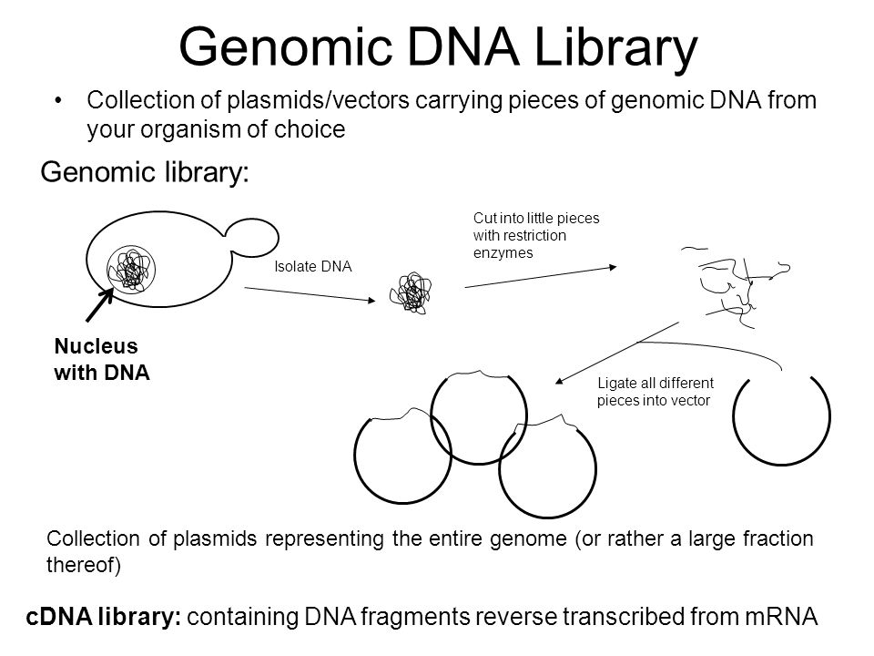 Genomic DNA Library Collection of plasmids/vectors carrying pieces of genomic DNA from your organism of choice Nucleus with DNA Isolate DNA Cut into l