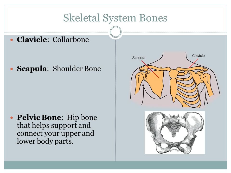 Skeletal System Bones Clavicle: Collarbone Scapula: Shoulder Bone Pelvic Bone: Hip bone that helps support and connect your upper and lower body parts.