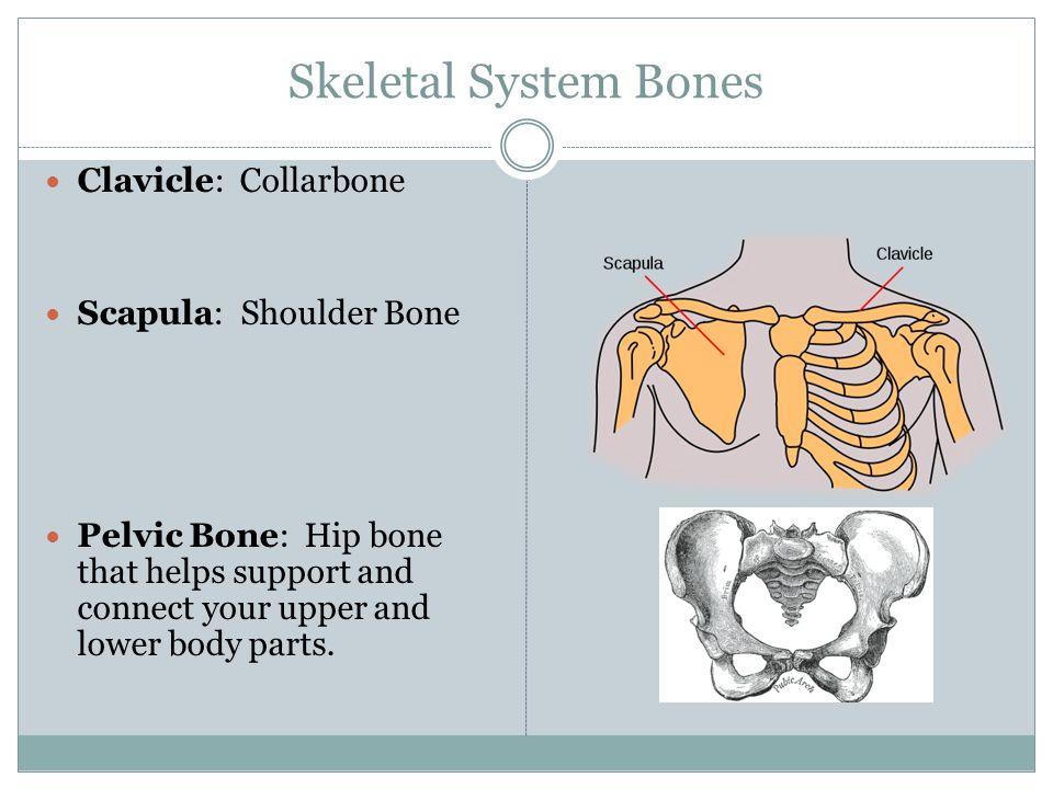 Skeletal System Bones Mandible=Lower Jaw Bone