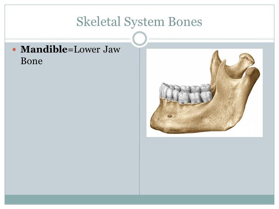 Skeletal System Bones Radius/Ulna: Forearm Bones (roughly the same size).
