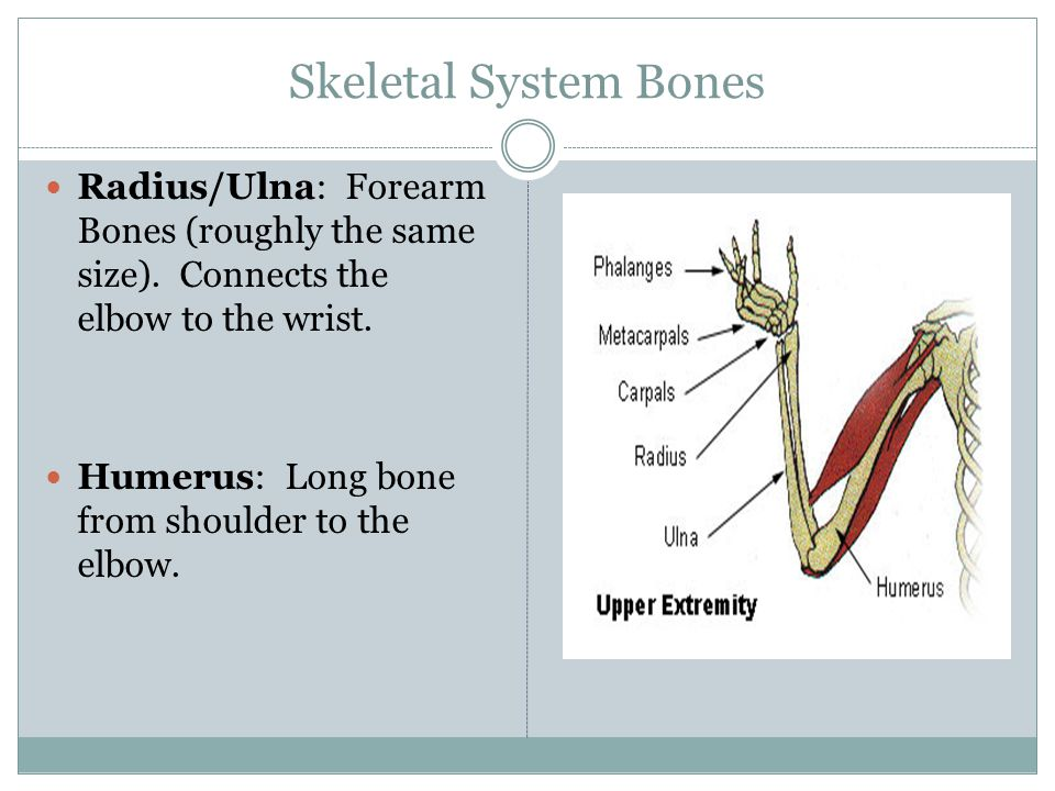 Skeletal System Bones Fibula/Tibia: Calfbones that differ in length.