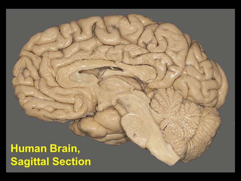 Human Brain, Sagittal Section