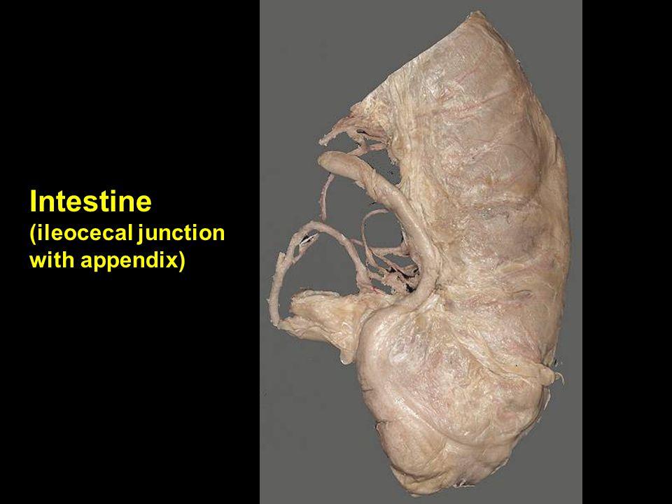 Intestine (ileocecal junction with appendix)
