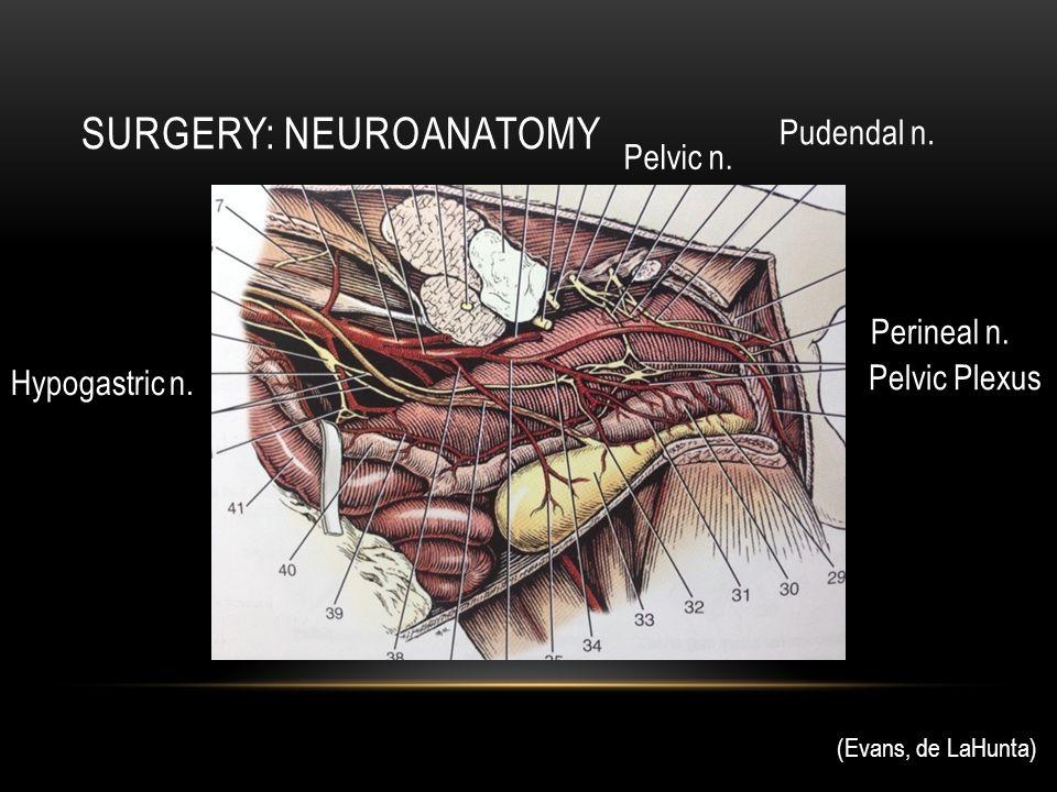 SURGERY: NEUROANATOMY Pelvic Plexus Hypogastric n. (Evans, de LaHunta) Perineal n. Pudendal n. Pelvic n.