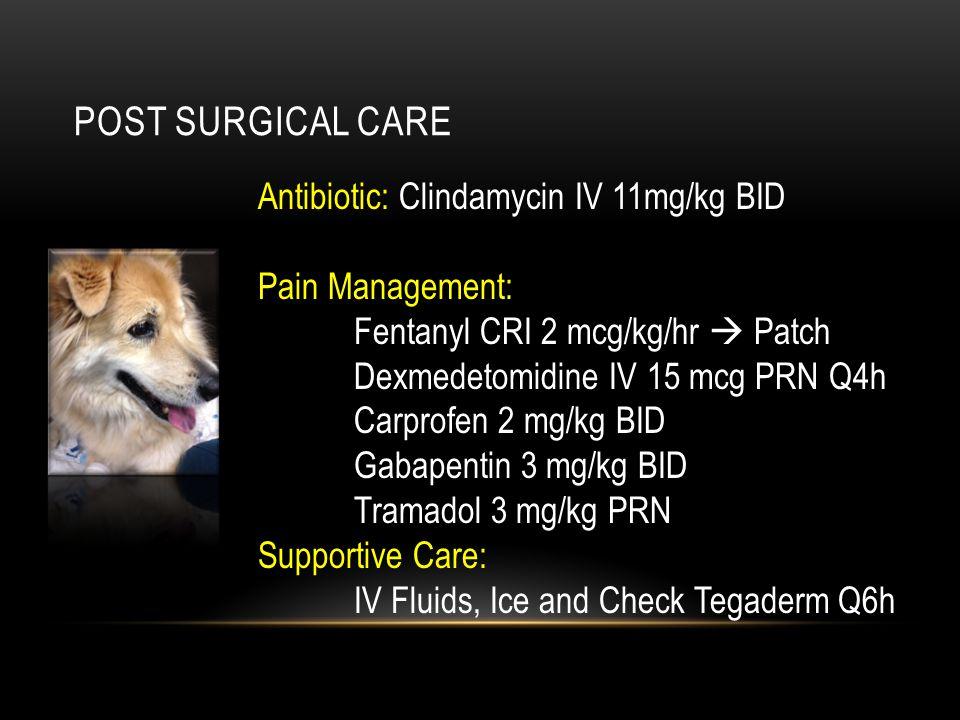 POST SURGICAL CARE Antibiotic: Clindamycin IV 11mg/kg BID Pain Management: Fentanyl CRI 2 mcg/kg/hr  Patch Dexmedetomidine IV 15 mcg PRN Q4h Carprofe