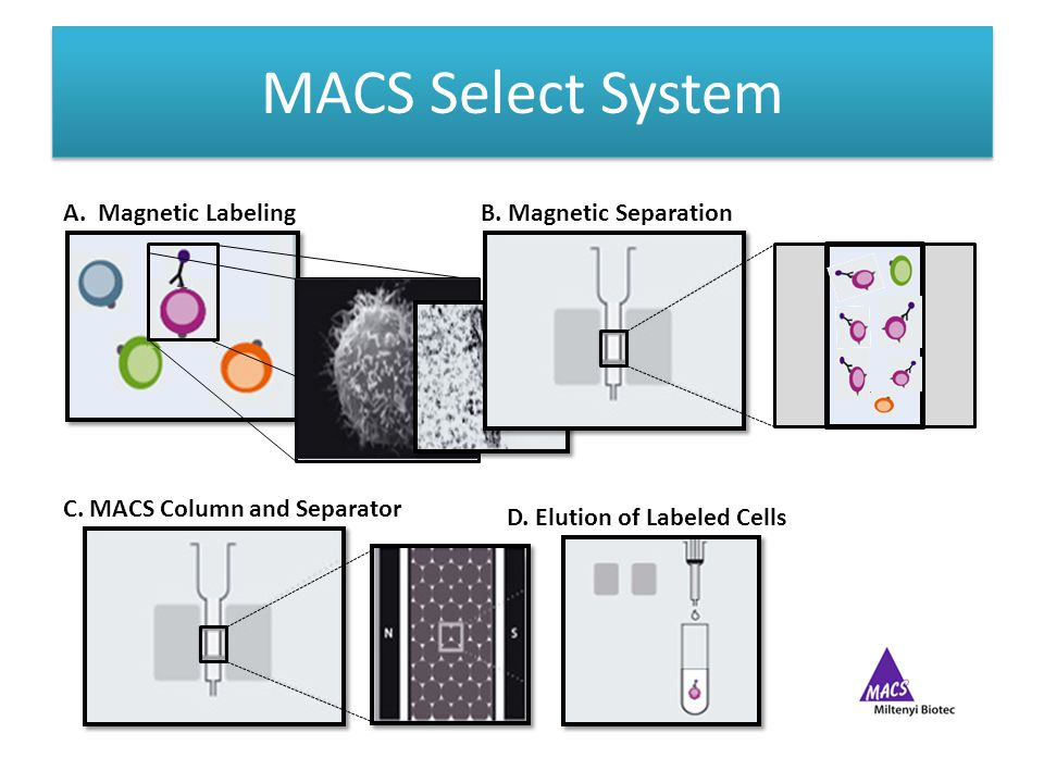 MACS Select System A. Magnetic LabelingB. Magnetic Separation C.