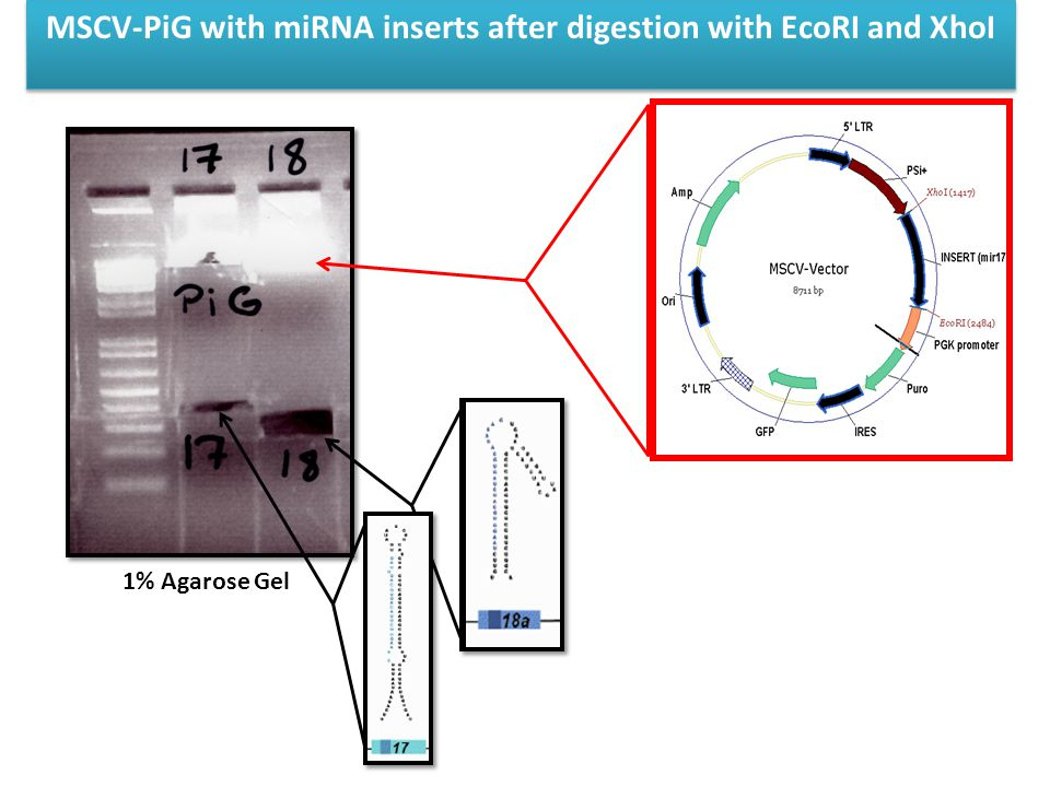 MSCV-PiG with miRNA inserts after digestion with EcoRI and XhoI 1% Agarose Gel
