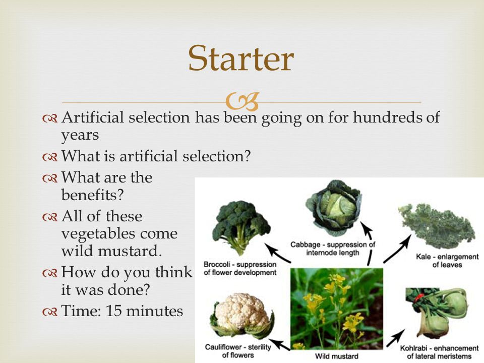   Artificial selection has been going on for hundreds of years  What is artificial selection?  What are the benefits?  All of these vegetables co