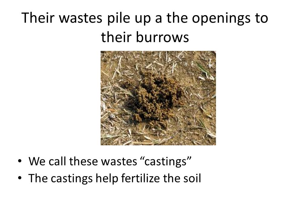 """Their wastes pile up a the openings to their burrows We call these wastes """"castings"""" The castings help fertilize the soil"""